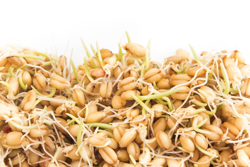 Proklijala pšenica