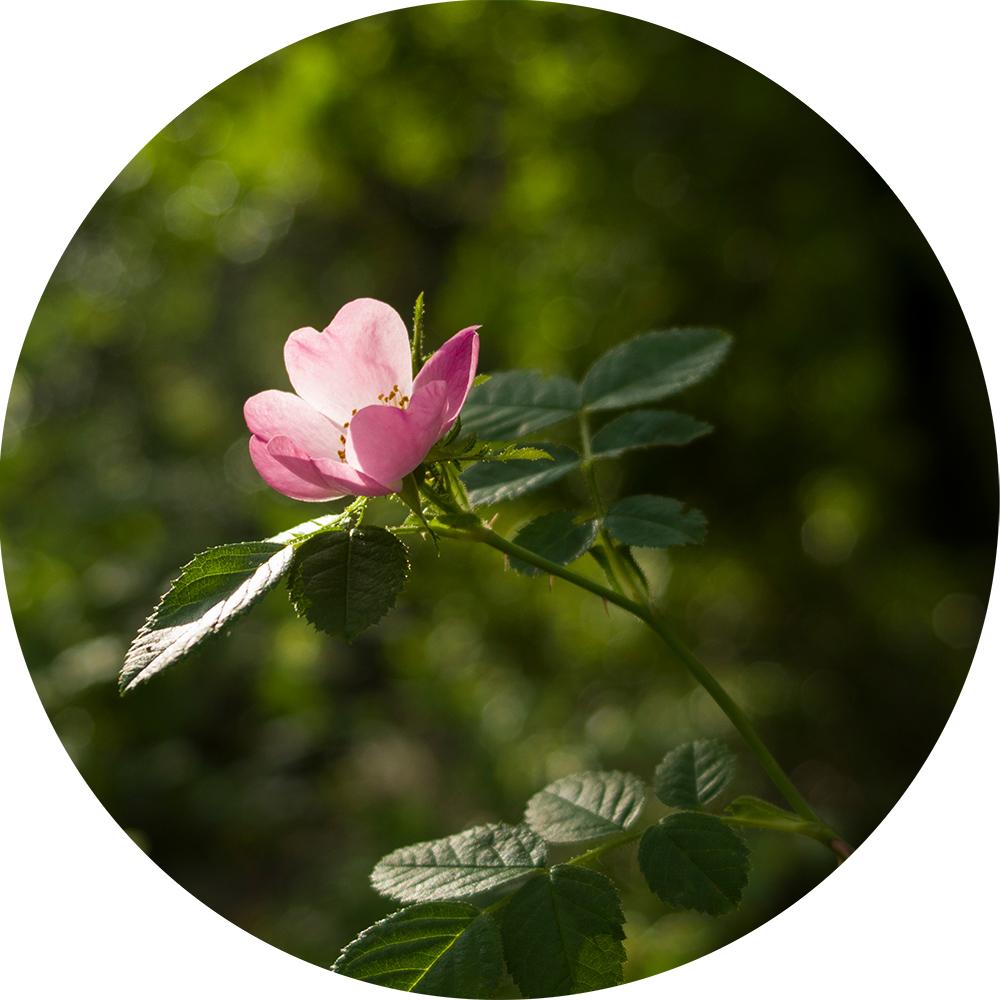 cileanska ruza