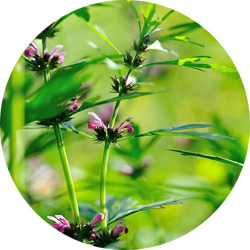 lekovita biljka srdačica