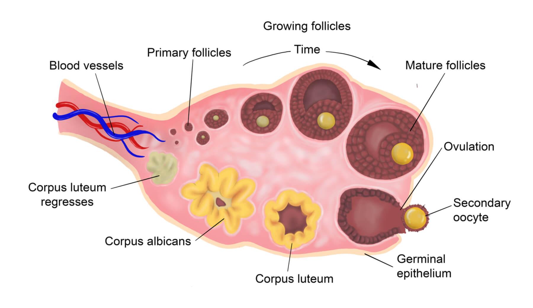 mikroskopski prikaz procesa ovulacije