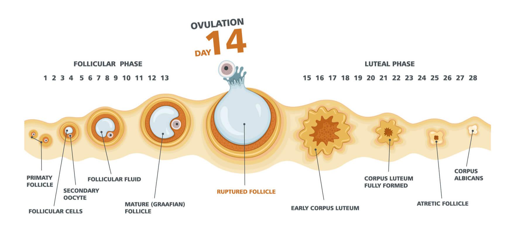 Period kada dolazi do ovulacije